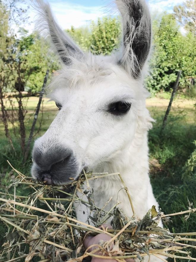 llama_thebetterplaces_alfalfa.jpg