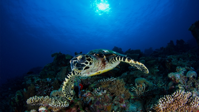 Thebetterplaces_Turtlediving_vakkaru_maldives.jpg